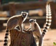 Dos lémures anillo-atados que juegan con uno a madagascar Fotografía de archivo libre de regalías