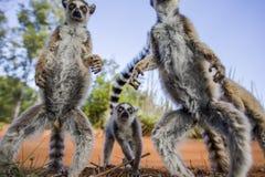 Dos lémures anillo-atados que se colocan en la tierra madagascar Fotos de archivo