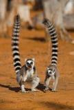 Dos lémures anillo-atados que se colocan en la tierra madagascar Imagen de archivo libre de regalías