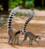 Dos lémures anillo-atados que se colocan en la tierra madagascar Fotos de archivo libres de regalías