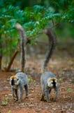 Dos lémures anillo-atados que se colocan en la tierra madagascar Foto de archivo libre de regalías