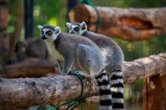 Dos lémures en rama Imagen de archivo libre de regalías