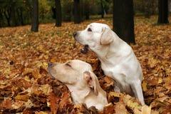 Dos labradors amarillos en el parque en hojas de otoño Fotografía de archivo libre de regalías