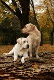 Dos labradors amarillos en el parque en otoño Foto de archivo libre de regalías