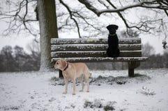 Dos labradors en la nieve Imágenes de archivo libres de regalías