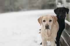 Dos labradors en la nieve Imagen de archivo libre de regalías
