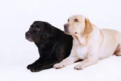 Dos labradors, negros y amarillos Imagen de archivo libre de regalías