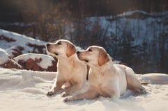 Dos labradors pálidos que ponen en el top de la montaña Imagen de archivo