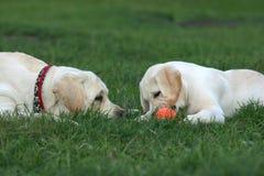 Dos labradors que juegan con una bola Fotos de archivo libres de regalías