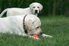 Dos labradors que juegan con una bola Foto de archivo