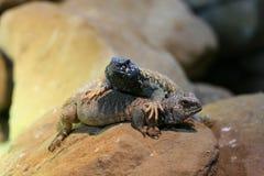 Dos lagartos del Agama Foto de archivo libre de regalías