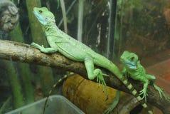 Dos lagartos verdes claros con las colas rayadas en las rocas de los terariums de u Imagen de archivo libre de regalías