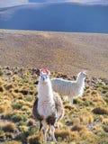 Dos lamas en el Altiplano fotografía de archivo