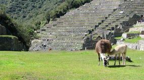Dos lamas que pastan en el medio de Machu Picchu Imagen de archivo libre de regalías