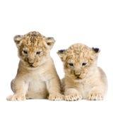 Dos león Cubs fotografía de archivo libre de regalías