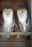 Dos lechuzas comunes en el parque zoológico imagen de archivo