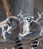 Dos Lemurs atados anillo Fotografía de archivo