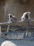 Dos Lemurs atados anillo Fotos de archivo libres de regalías