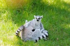 Dos lemurs divertidos Foto de archivo