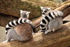 Dos lemurs ring-tailed se están sentando en un tronco de árbol Foto de archivo