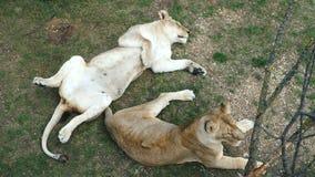 Dos leonas en el parque zoológico almacen de video