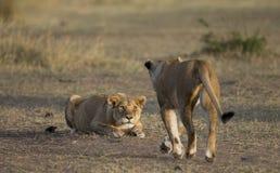 Dos leonas en la sabana Parque nacional kenia tanzania Masai Mara serengeti Imagen de archivo