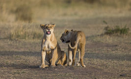 Dos leonas en la sabana Parque nacional kenia tanzania Masai Mara serengeti Fotografía de archivo