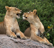 Dos leonas en la sabana Parque nacional kenia tanzania Masai Mara serengeti Foto de archivo