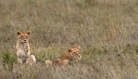 Dos leonas en la sabana Parque nacional kenia tanzania Masai Mara serengeti Imagen de archivo libre de regalías