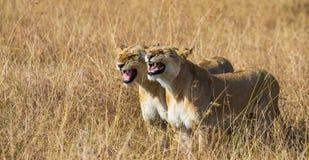 Dos leonas en la sabana Parque nacional kenia tanzania Masai Mara serengeti Imágenes de archivo libres de regalías