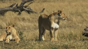 Dos leonas examinan su territorio en masai Mara, Kenia almacen de video