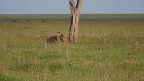 Dos leonas salvajes se luchan para el territorio o la presa en el llano africano almacen de video