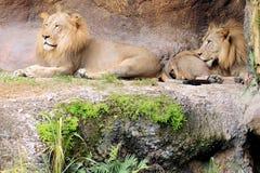 Dos leones Fotografía de archivo libre de regalías