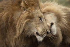 Dos leones adultos, parque nacional de Serengeti Fotos de archivo libres de regalías