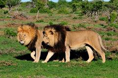 Dos leones de Kalahari, Panthera leo Fotos de archivo libres de regalías