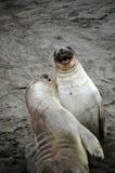 Dos leones de mar que juegan en la costa Fotografía de archivo libre de regalías