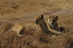 Dos leones en África Fotos de archivo libres de regalías
