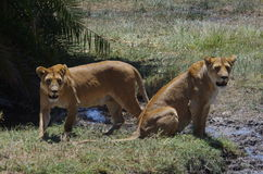Dos leones en África Foto de archivo libre de regalías