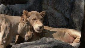 Dos leones femeninos se acarician almacen de metraje de vídeo