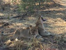 Dos leones jovenes Imágenes de archivo libres de regalías