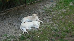 Dos leones jovenes blancos en el territorio del parque zoológico almacen de video
