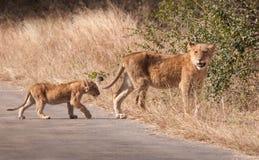 Dos leones jovenes que cruzan un camino Kruger, Suráfrica fotos de archivo libres de regalías