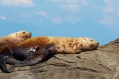 Dos leones marinos estelares perezosos en una roca Foto de archivo libre de regalías