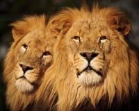 Dos leones masculinos Foto de archivo