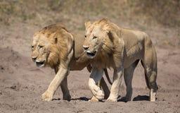 Dos leones masculinos, Botswana Fotos de archivo libres de regalías