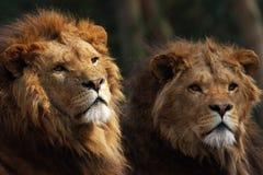 Dos leones masculinos en el puesto de observación Fotografía de archivo libre de regalías