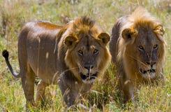 Dos leones masculinos grandes en la caza Parque nacional kenia tanzania Masai Mara serengeti Fotos de archivo libres de regalías