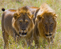 Dos leones masculinos grandes en la caza Parque nacional kenia tanzania Masai Mara serengeti Imagenes de archivo