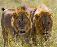 Dos leones masculinos grandes en la caza Parque nacional kenia tanzania Masai Mara serengeti Foto de archivo
