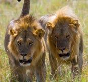 Dos leones masculinos grandes en la caza Parque nacional kenia tanzania Masai Mara serengeti Imágenes de archivo libres de regalías